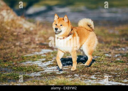 Schöne junge rote Shiba Inu Welpe Hund bleiben im Freien im Frühjahr - Stockfoto