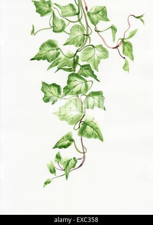 Aquarell von grünen Efeu Zweige und Blätter, die isoliert auf weiss