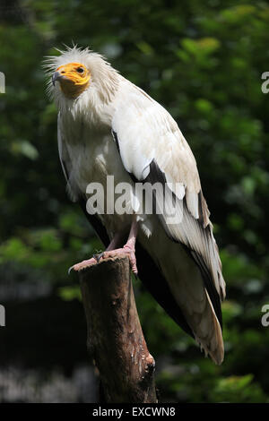 Schmutzgeier (Neophron Percnopterus), auch bekannt als die weiße Scavenger Geier im Zoo Liberec, Tschechische Republik. - Stockfoto