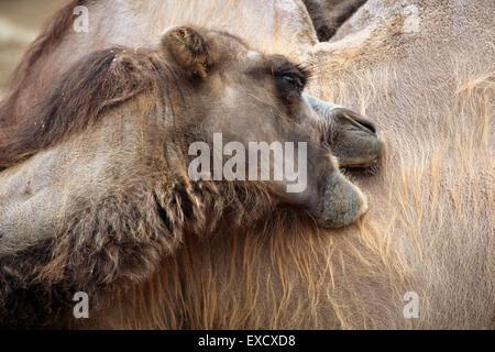 Inländische baktrischen Kamel (Camelus Bactrianus) im Zoo von Liberec in Nordböhmen, Tschechien. - Stockfoto