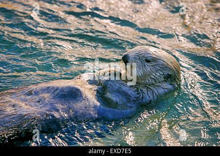 Sea Otter schwimmt auf dem Rücken, Abendsonne - Stockfoto