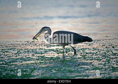Great Blue Heron, Fische zu fangen, in der Nähe der Küste, Pazifischer Ozean, British Columbia, Kanada - Stockfoto