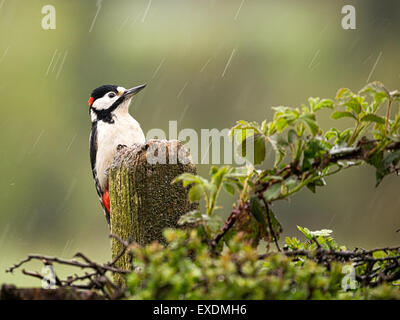 Great Spotted Woodpecker (Dendrocopos großen) In The Rain - Stockfoto