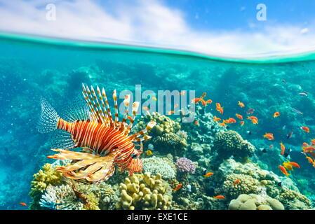 Feuerfische über Riff, Pterois Volitans, Dahab, Sinai, Rotes Meer, Ägypten - Stockfoto