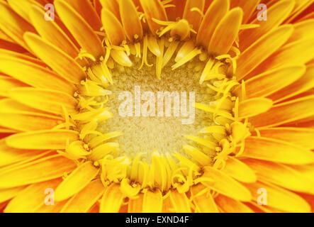 Makro-Ansicht des Zentrums der gelbe Gerber Blume, schöne abstrakte Details. Nahaufnahme der Stößel. - Stockfoto