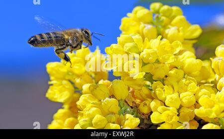 Honigbiene, Apis Mellifera, Nahrungssuche Nektar