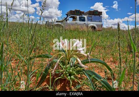 Lilie in Landschaft, Kgalagadi Transfrontier Park, Kalahari, Südafrika, Botswana - Stockfoto