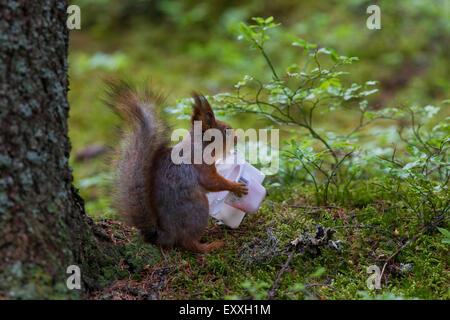 Fütterung auf gebrauchte Kunststoff Joghurtbecher eurasischen Eichhörnchen (Sciurus Vulgaris) - Stockfoto