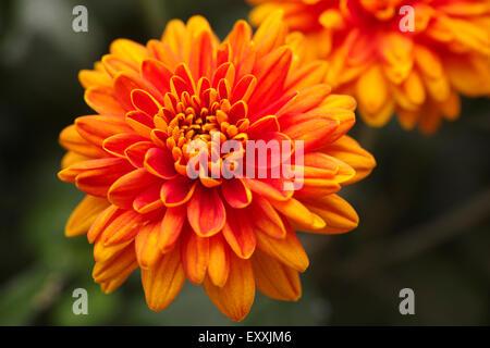 Orangefarbene Chrysanthemen mit Wassertropfen in der Natur. - Stockfoto