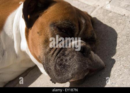 Schlafender Hund genießt die Sonne - Stockfoto