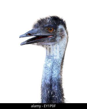 Nahaufnahme eines australischen emu Kopf isoliert - Stockfoto