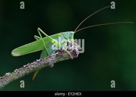Große grüne Bushcricket / Great Green Bush-Cricket (Tettigonia Viridissima) weiblich auf Ast im Sommer - Stockfoto