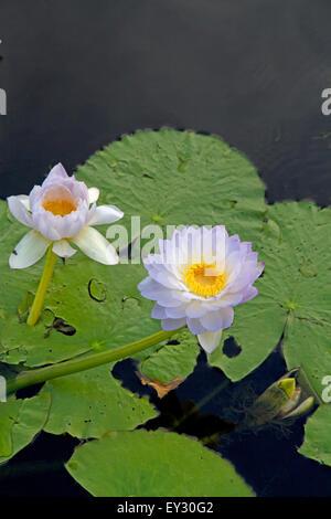 Lilie im Yellow Water Billabong im Kakadu National Park - Stockfoto