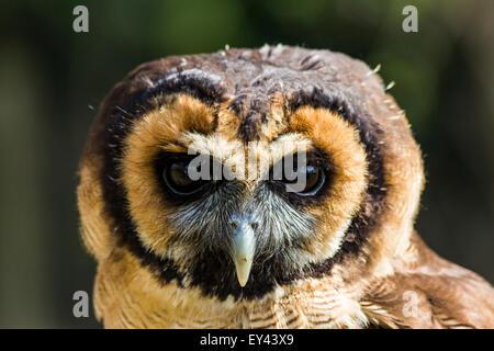 Asiatische braune Eule oder braun Holz Eule (Strix Leptogrammica), die Hawking-Zentrum, Doddington, Kent, UK - Stockfoto