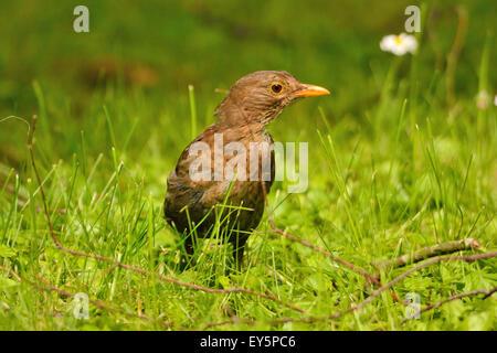 Junge Amsel im Grass - Burgund Frankreich - Stockfoto