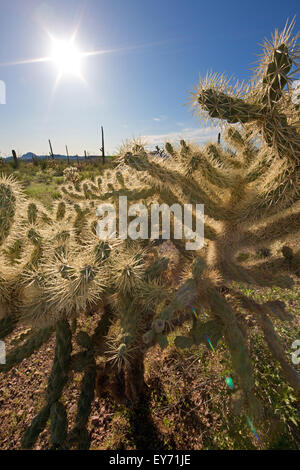 Teddy Bear Cholla Cactus, Opuntia Bigelovii, Organ Pipe National Monument, Arizona, USA - Stockfoto