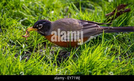 Eine Robin findet eine Wurm in einem Park in Seattle - Stockfoto