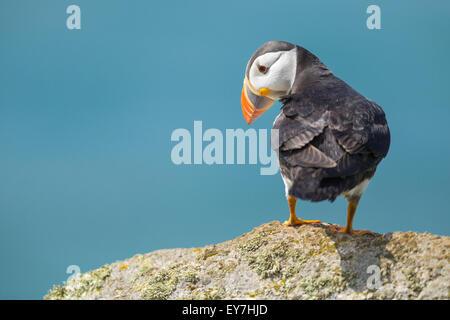 Papageitaucher (Fratercula Arctica) thront auf einem Felsen, Skomer Island, Pembrokeshire - Stockfoto
