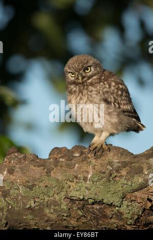 Junger Steinkauz (Athene Noctua), thront auf einem dicken Ast, Emsland, Niedersachsen, Deutschland - Stockfoto
