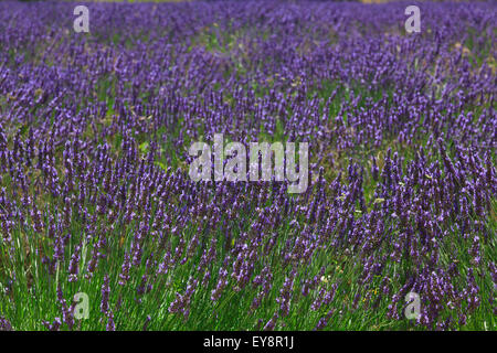 lavendel pflanzen in voller bl te gegen rustikalen mit holz stockfoto bild 168904619 alamy. Black Bedroom Furniture Sets. Home Design Ideas
