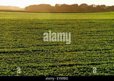 Reihen von Mid Wachstum Sojabohnen in der späten Nachmittag Sonne, in der Nähe von Truman; Minnesota, Vereinigte - Stockfoto
