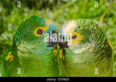 Zwei blaue fronted Amazon Papageien, Amazona aestiva - Stockfoto