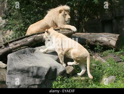 Ältere männliche Löwe (Panthera Leo Krugeri) zusammen mit einer jungen Frau im Zoo von Ouwehand Rhenen, Niederlande - Stockfoto