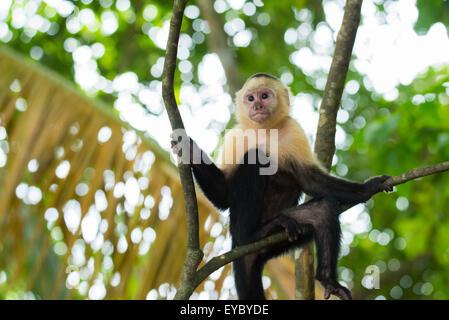 Einen weißen konfrontiert Kapuziner-Affen Klettern - Stockfoto