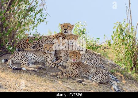 Gepard (Acinonyx Jubatus), Weiblich, mit vier jungen, ruht auf einem Hügel, Masai Mara National Reserve, Kenia - Stockfoto