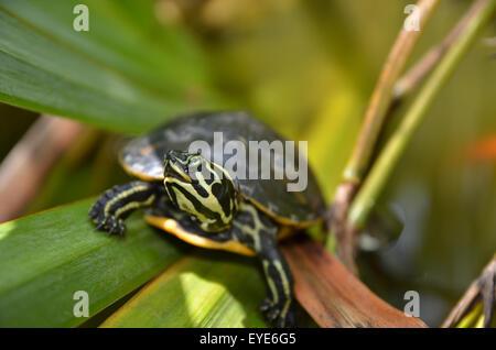 Gelbe bauchige Schieberegler Schildkröte in einem mediterranen Teich - Stockfoto