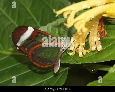 Geflügelte Glas Schmetterling oder Clearwing (Greta Oto) ernähren sich von einem exotischen tropischen Blumen. Stammt - Stockfoto