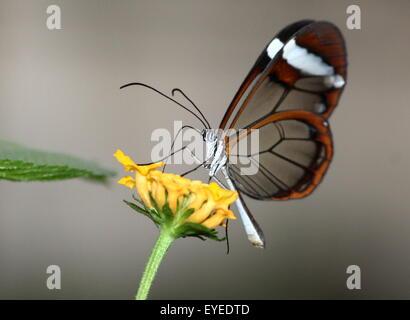 New World Glass geflügelte Schmetterling oder Clearwing (Greta Oto) Fütterung auf einer gelben Blume. - Stockfoto
