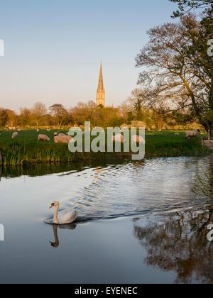 Kathedrale von Salisbury mit weidenden Schafen und ein Schwan im Vordergrund; Salisbury, Wiltshire, England - Stockfoto