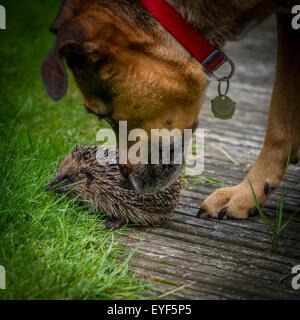 Hund trifft Igel (Erinaceus Europaeus) und reagiert sanft, UK - Stockfoto