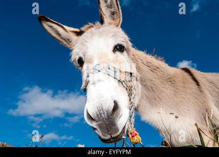 Esel (Equus Africanus Asinus), Peloponnes, Griechenland - Stockfoto