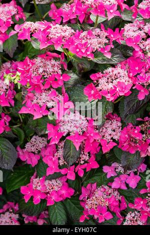 Rot-rosa sterile Blüten und dunkelgrünen Blättern unterscheiden Hydrangea Serrata 'Garten Haus Glory' von ähnlichen - Stockfoto