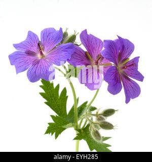 Storchschnabel; Geranium x magnificum - Stockfoto