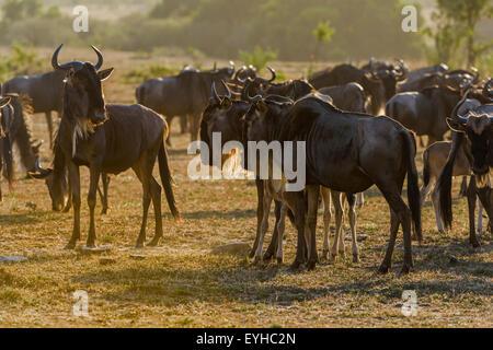 Blaue Gnus (Connochaetes Taurinus), Gnu-Herde, Hintergrundbeleuchtung, Maasai Mara, Narok County, Kenia - Stockfoto