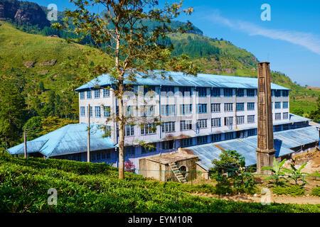 Sri Lanka, Ceylon, zentrale Provinz, Nuwara Eliya Teeplantagen im Hochland, Tea Estate Bluefield - Stockfoto
