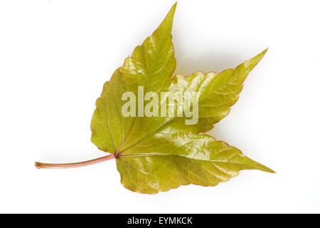Wilder Wein, Parthenocissus Quinquefolia, - Stockfoto