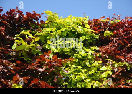 Buche Hedge. Kupfer- oder lila Buche (Fagus sylvatica purpurea), durchsetzt mit Buche (Fagus sylvatica), Dorset, England