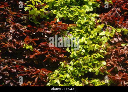 Beech Hedge. Europäische Buche, Fagus Sylvatica und lila Buche, Fagus Sylvatica Atropurpurea