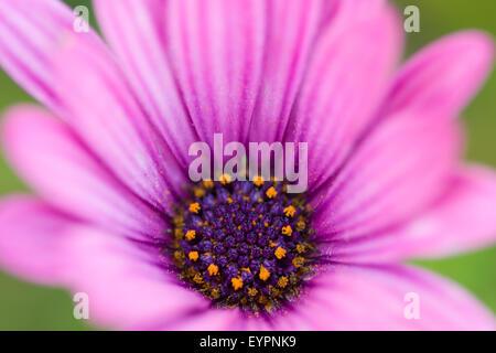 Extreme Nahaufnahme von Blütenblättern und Staubfäden hell rosa Cape Daisy (Osteospermum) - Stockfoto