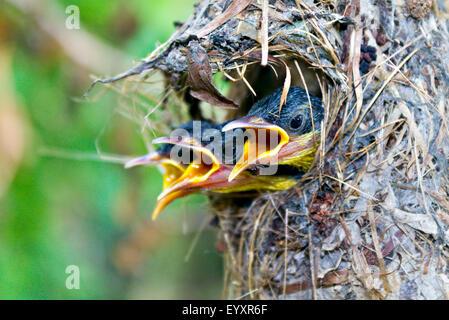 Vogel-Küken. Nahaufnahme von drei Nestlinge rufen ihre Mutter in Hunger und Angst!! - Stockfoto