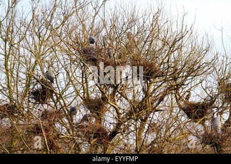 Graureiher (Ardea Cinerea), Kolonie Graureiher in der Natur zu reservieren, See Baldeney, Deutschland, Nordrhein - Stockfoto