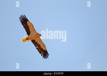 Schmutzgeier (Neophron Percnopterus), fliegen, Kanarischen Inseln, Fuerteventura - Stockfoto
