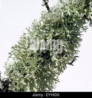 Schluesselflechte, Parmelina Tiliacea, - Stockfoto