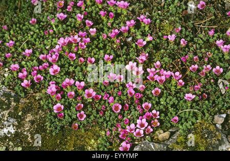 Lila Steinbrech, lila Steinbrech (Saxifraga Oppositifolia), blühen, Deutschland - Stockfoto