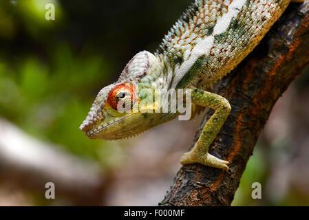 Pantherchamäleon (Furcifer Pardalis, Chamaeleo Pardalis), Porträt, Madagaskar, Nosy Be, Lokobe Reserva