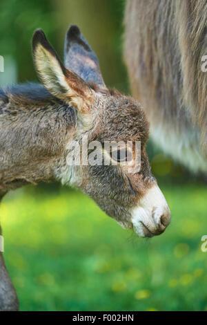 Inländische Esel (Equus Asinus Asinus), Porträt von einem 8 Stunden alte Juvenile, Deutschland - Stockfoto